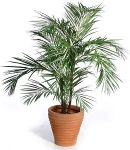 Areca palm, one of three air-enhancing plants.