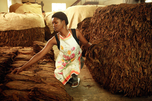 Woman sorting tobacco at a cigar factory in the Dominican Republic.