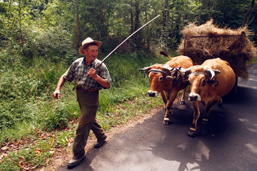 A farmer and his Oxen in Auvergne, the Massif Central of France. (© Owen Franken).