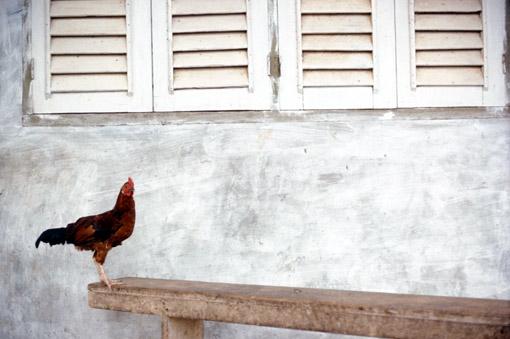 Rooster in Ibadan, Nigeria (© Owen Franken).